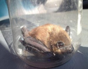 bat removal company North Canton