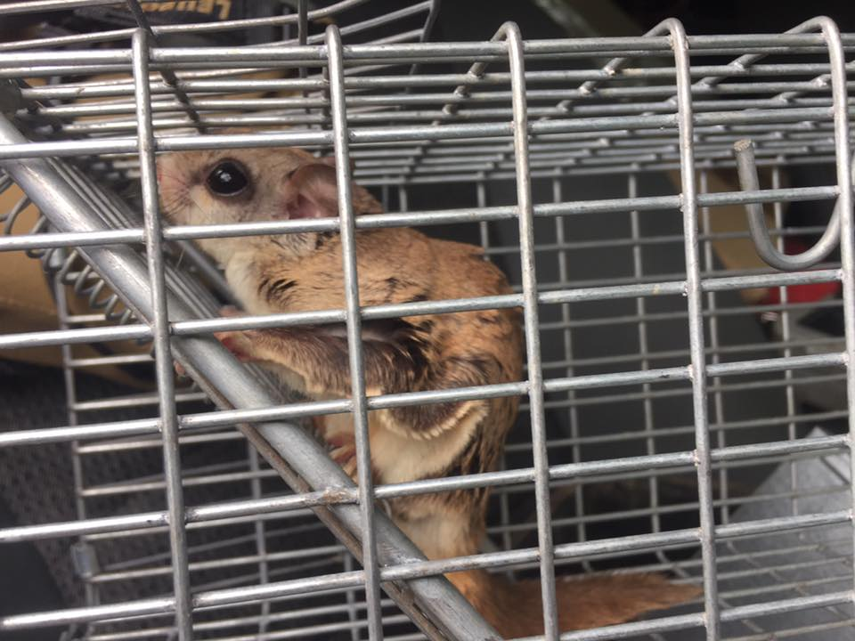 flying squirrel trapped