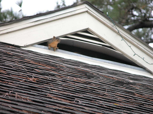 How do squirrel get in an attic?