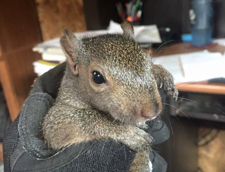 nuisance squirrel description